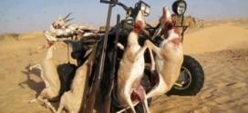 خليجيون يصطادون آخر الحيوانات البرية بالصحراء المغربية