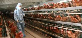 """فضيحة """"البيض"""" تهدد ملايين من الدجاج"""