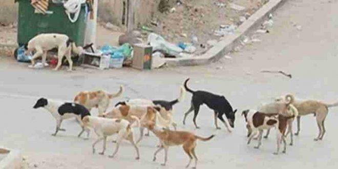 القنيطرة…تناسل الكلاب الضالة بحي لوفالون